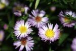 Lilac flowers syysasteri