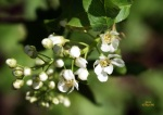 Tuomi / bird cherry