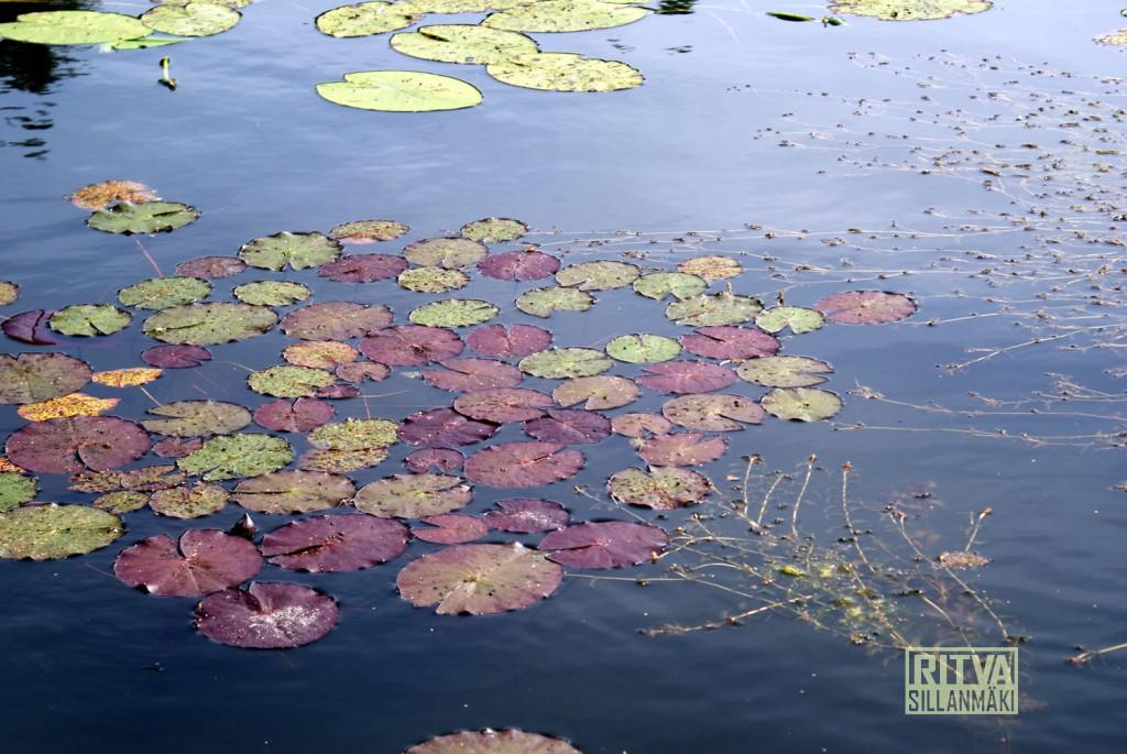 Waterlilies / Lumpeenkukat