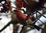 crossbill - pienikäpylintu