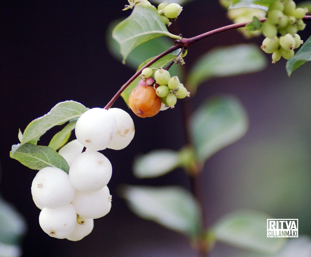 Snowberry, Waxberry or Ghostberry, - Lumimarja – Symphoricarpos albus (snöbär)
