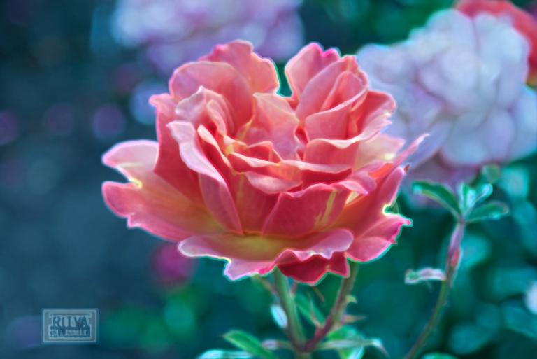 Portland rose 2