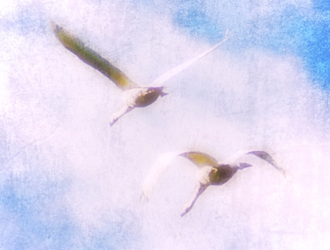 Flying swans (2)