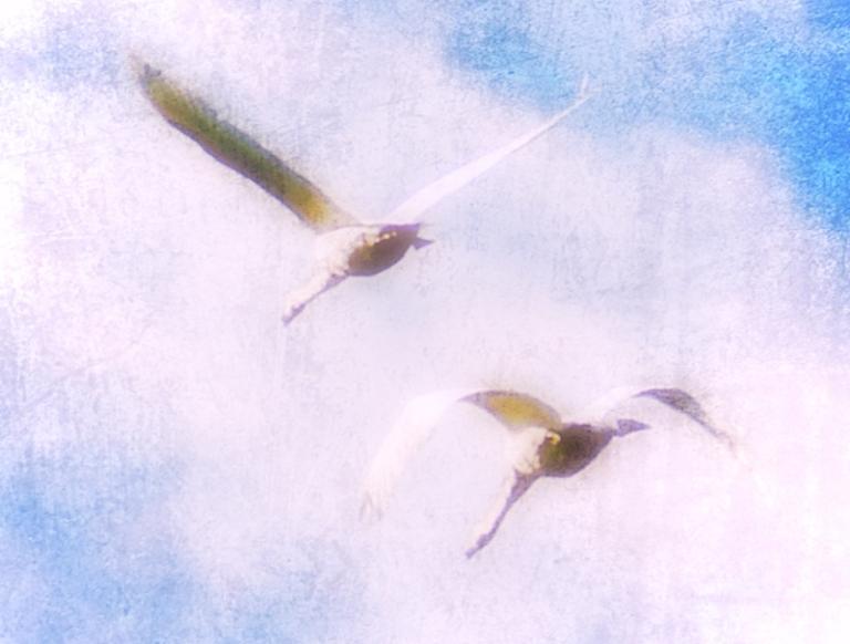 Flying swans (2)